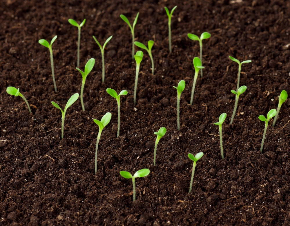 Seedlings emerging.jpg
