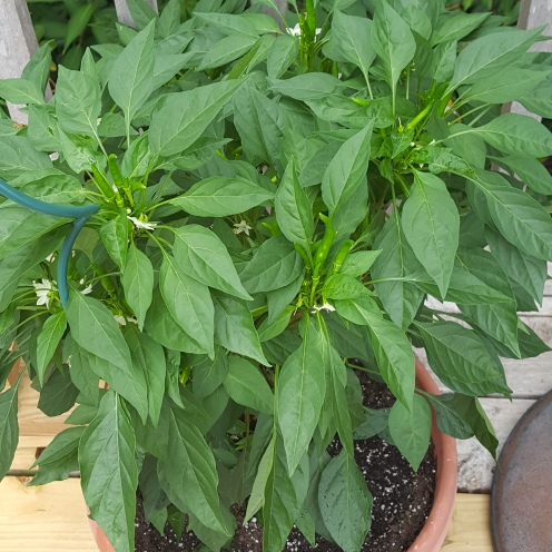 Arbol Chili Peppers